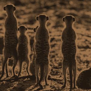 A group of meerkats representing social media campaigns